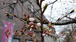 武蔵小杉のサクラ2017開花