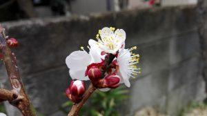 春の訪れを感じる梅の花です。